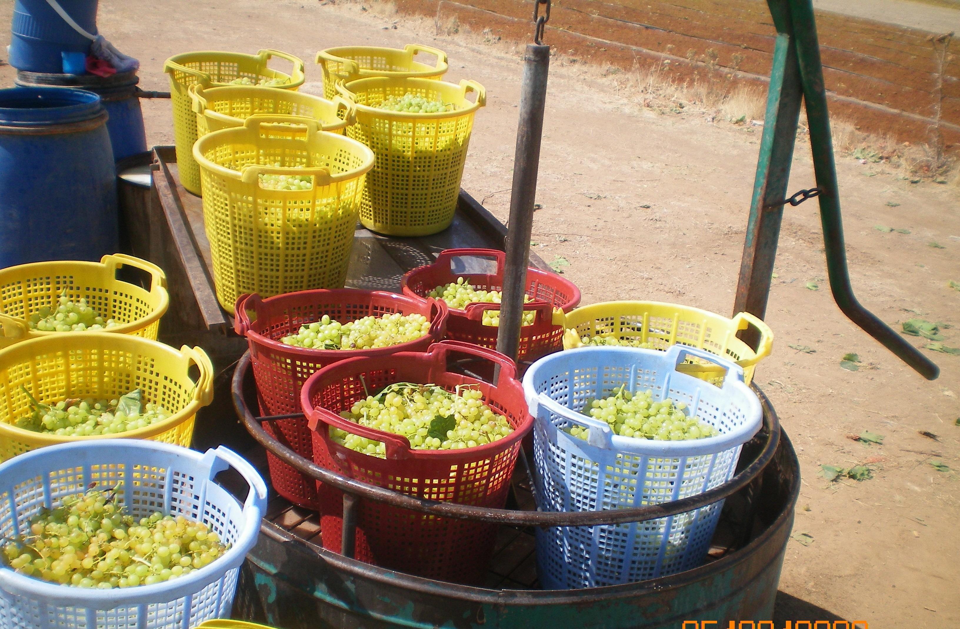 Çekirdeksiz kuru üzüm ihracatı